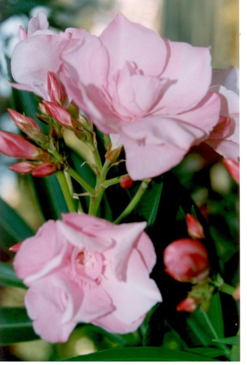 adelfa-nerium-oleander