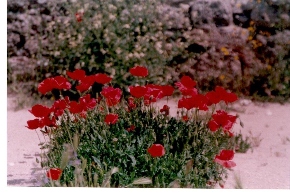 amapola-papaver-rhoeas