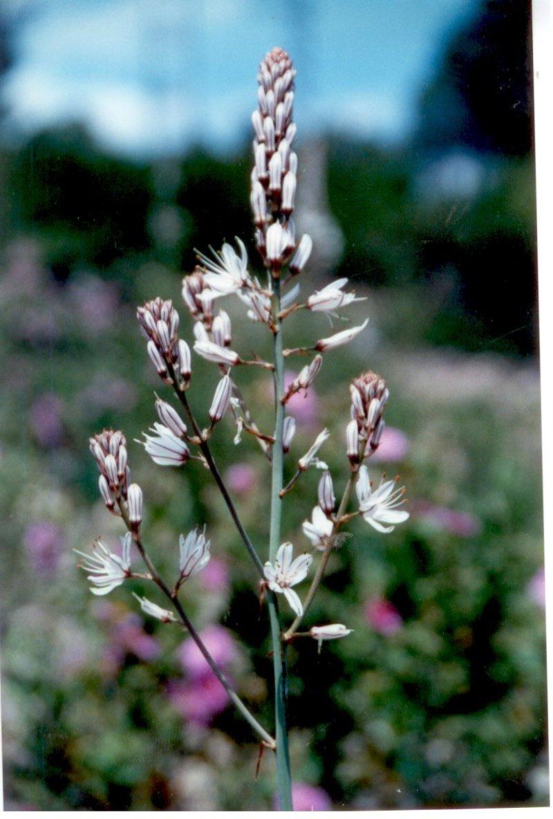 gamon-asphodelus-albus