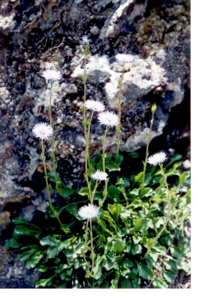 globularia-mayorglobularia-vulgaris