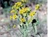 lechetreznaeuphorbia-serrata