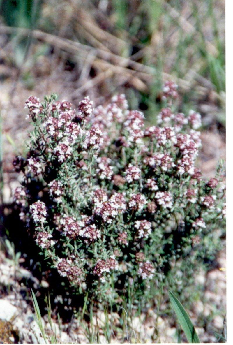 tomillothymus-vulgaris